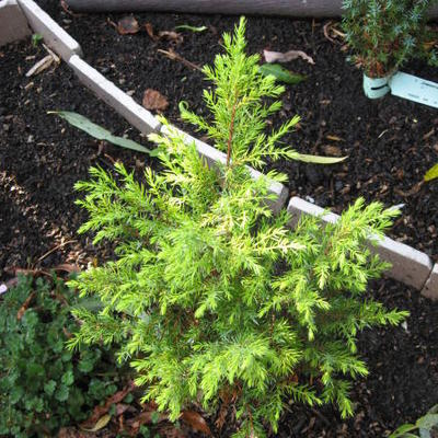Juniperus communis 'Gold Cone' - Jeneverbes
