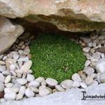 Gypsophila aretioides - Gypsophila aretioides - Gipskruid, Dwerggypsophila