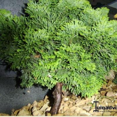 Chamaecyparis obtusa 'Tonia' -