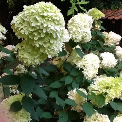 Hydrangea paniculata 'Limelight' -