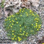 Heterotheca pumila  - Heterotheca pumila  - Gouden dwergaster