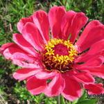 Zinnia angustifolia x elegans - Zinnia angustifolia x elegans - Zinnia