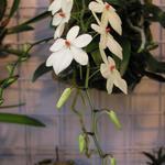 Aerangis rhodosticta - Aerangis rhodosticta - Orchidee