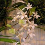 Aerangis mystacidii  - Aerangis mystacidii  - Orchidee