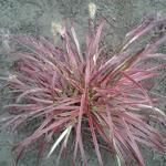 Pennisetum setaceum 'Fireworks' - Lampepoetsersgras - Pennisetum setaceum 'Fireworks'