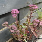 Sedum telephium 'Munstead Dark Red' - Vetkruid