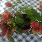 Justicia brandegeeana  - Justicia brandegeeana  - Garnaalplant