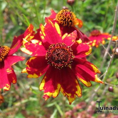 Coreopsis tinctoria 'Radiata Tigrinya' -