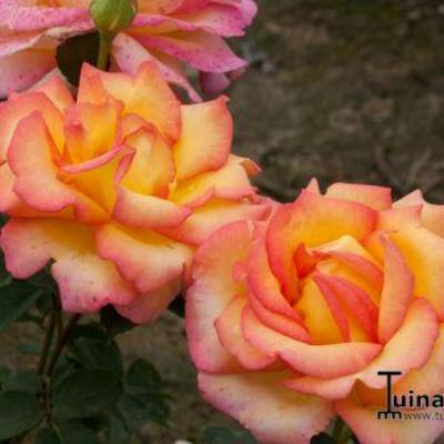 Rosa 'Jean Piat' -
