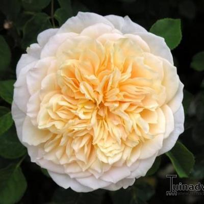 Rosa 'English Garden'  -