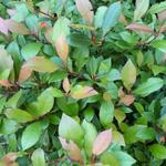 Photinia  fraseri 'Little Red Robin' - Glansmispel, Oranjebloesem