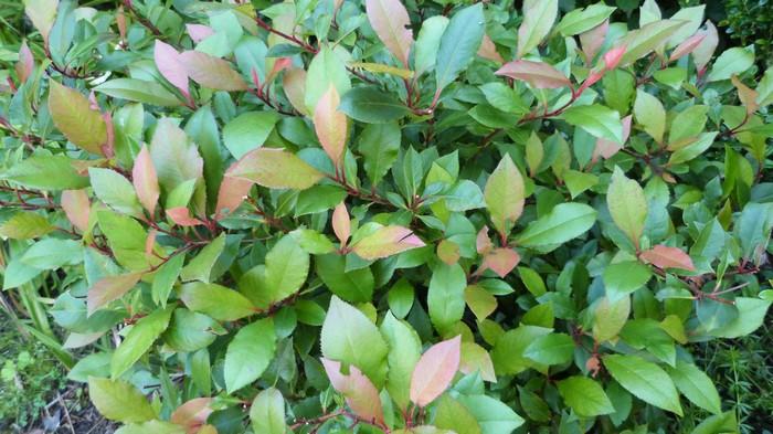 glansmispel oranjebloesem photinia fraseri 39 little red robin 39 planten online kopen. Black Bedroom Furniture Sets. Home Design Ideas