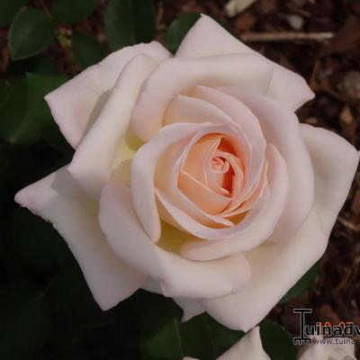 Rosa 'Jardins de Bagatelle'  -