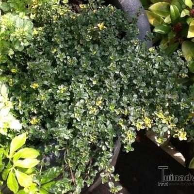 Thymus x citriodorus 'Sambesi' -