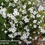 Arenaria hookeri var desertorum - Arenaria hookeri var desertorum - Zandkruid