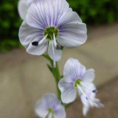 Veronica gentianoides 'Tissington White' -