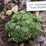 Saxifraga 'Kath Dryden' -