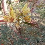 Caesalpinia gilliesii - Caesalpinia gilliesii - paradijsvogelstruik