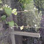 Argyreia nervosa - Argyreia nervosa - Hawaiiaanse Baby Woodrose