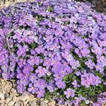 Phlox kelseyi 'Lemhi Purple' - Phlox kelseyi 'Lemhi Purple' - Floks
