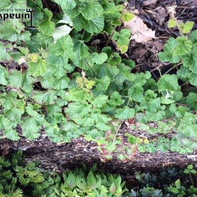 Rubus pentalobus -