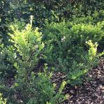 Ilex crenata 'Green Hedge' - Japanse hulst