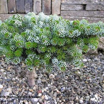 Abies koreana 'Kohout's Ice Breaker'