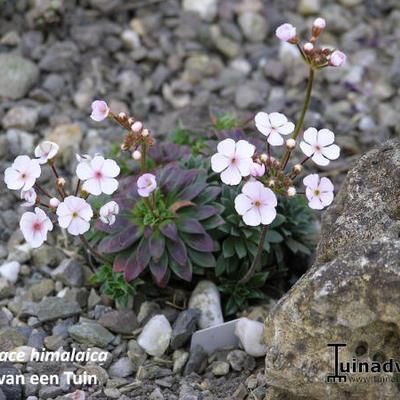 Androsace himalaica -