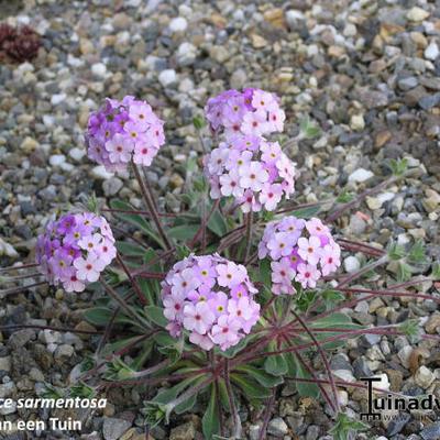 Androsace sarmentosa -