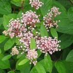 Amerikaanse sering - Ceanothus x pallidus 'Marie Simon'