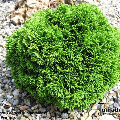 Chamaecyparis obtusa 'Juniperoides' -
