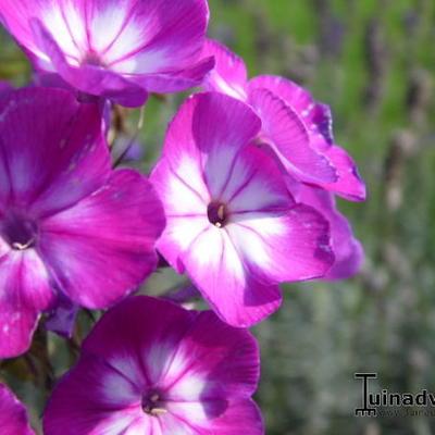 Phlox paniculata 'Katja' -