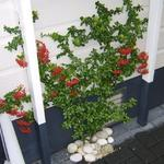 Pyracantha 'Orange Glow' - Vuurdoorn - Pyracantha 'Orange Glow'
