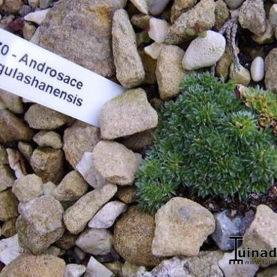 Androsace tangulashanensis -