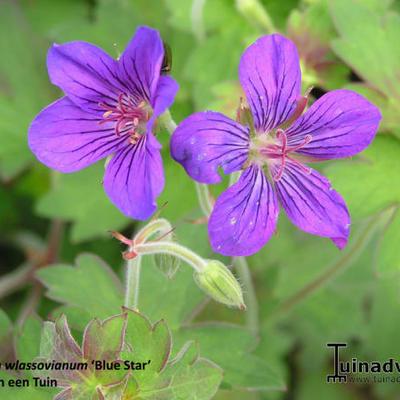 Geranium wlassovianum 'Blue Star' -