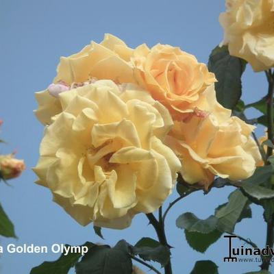 Rosa 'Goldener Olymp' -