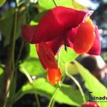 Euonymus planipes - Kardinaalsmuts, kardinaalshoed - Euonymus planipes