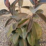 Ficus elastica -