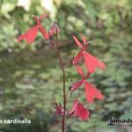 Lobelia cardinalis - Waterlobelia - Lobelia cardinalis