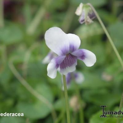Viola hederacea -