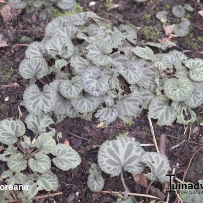 Viola koreana -