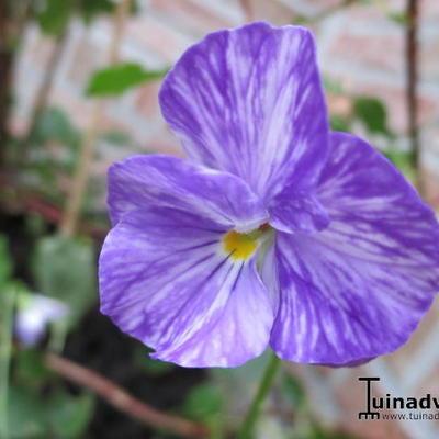 Viola cornuta 'Columbine' -