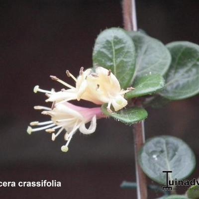Lonicera crassifolia -