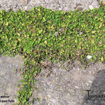 Leptinella minor  -