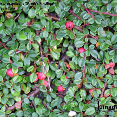 Cotoneaster 'Streib's Findling' -