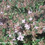 Abelia x grandiflora 'Edward Goucher' - Abelia x grandiflora 'Edward Goucher' - Abelia