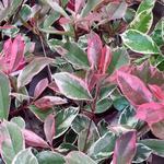 Photinia x fraseri 'Pink Marble' - Glansmispel - Photinia x fraseri 'Pink Marble'