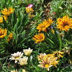 Gazania rigens 'Big Kiss White Flame' - Middaggoud