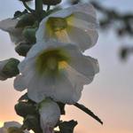 Alcea rosea 'Alba' - Stokroos - Alcea rosea 'Alba'
