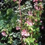 Begonia fuchsioides - Begonia fuchsioides - Fuchsia Begonia, struikbegonia